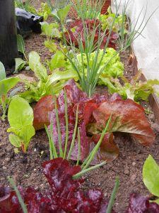 Unsere Salate Mitte Mai.