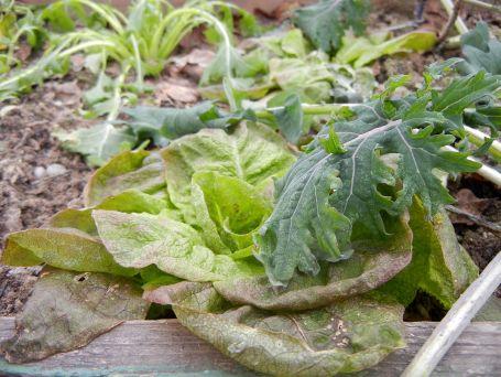 Auch der Winterkopfsalat wartet auf wärmere Tage.