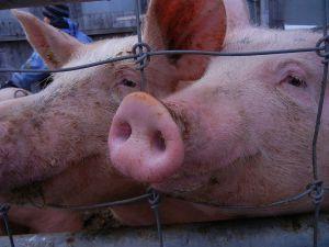 So grinsen nur glückliche Schweine mit einem riesigen Stall, viel kuschligem Stroh und Freilauf.