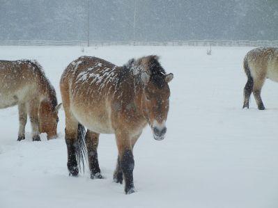 Selbst ärgstes Schneegestöber stört die Pferde nicht. In ihrer Heimat der Mongolei sind die Winter noch viel kälter als bei uns.