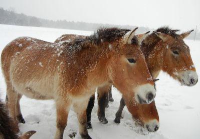 Wöchentlich begrüßen und die Thaki (Przewalskipferde) auf der Königsbrunner Heide.