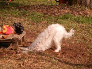 Sogar Ronja ging ihrem Job mit Hingabe nach: die Drainage für die Scheue graben. ;-)