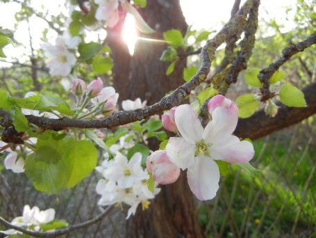 Apfelblüte auf der CityFarm Augsburg