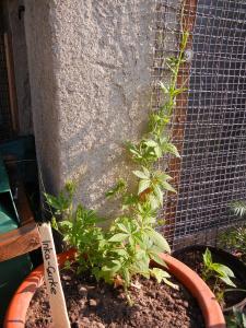 Cylanthera pedata - Scheibengurke oder Inkagurke