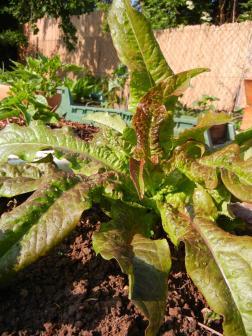 Lactuca sativa var. crispa - die alte Pflücksalatsorte Ochsenzunge