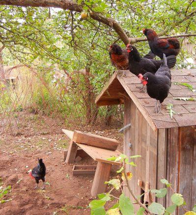 Guter Ausblick aufs Buffet von da oben, dachten sich wohl die Hühner.