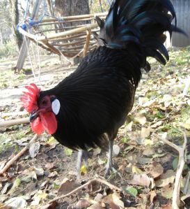 Name: Tengo, Hobby: im Gemüsegarten scharren, picken und krähen.