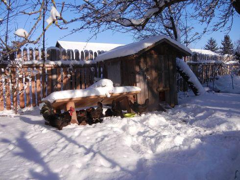 Hühnerschar im Winterzauber