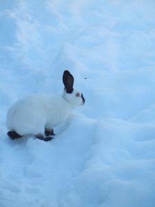 Schneekaninchen im Schnee