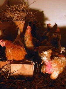 Verwirrte Hennen bei der Einzug in den neuen Stall