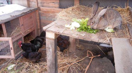 Salli hat mittlerweile vor den Hühnern resigniert.