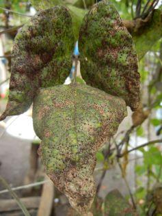 Befall vom Pilz Uromyces appendiculatus, dem Bohnenrost auf Blatt