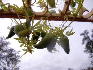 Cyclanthera pedata, Inkagurke