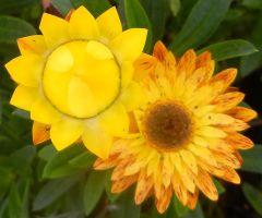 Zeitige Freude, Helichrysum bracteatum, die Gartenstrohblume blühte seit Mai durchgehend.