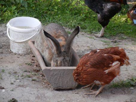 Mopsele, alias Salli, bei ihrem Hobby: den Hühnern das Futter klauen.