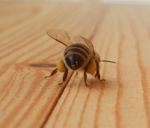 Riesige Pollenhöschen als Futter für de Brut im Stock.
