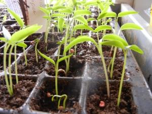 Tomaten, Paprika und Chilis recken sich schon der Frühlingssonne entgegen.