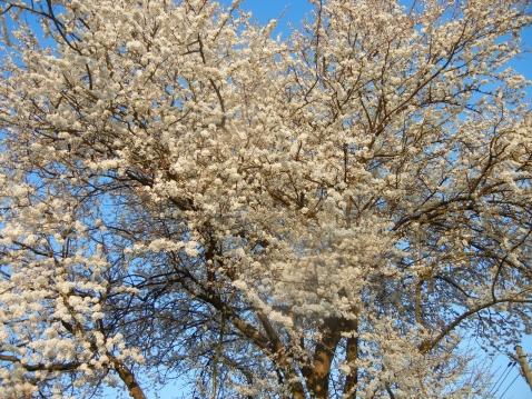 Unser Mirabellenbaum in traumhafter Blüte!