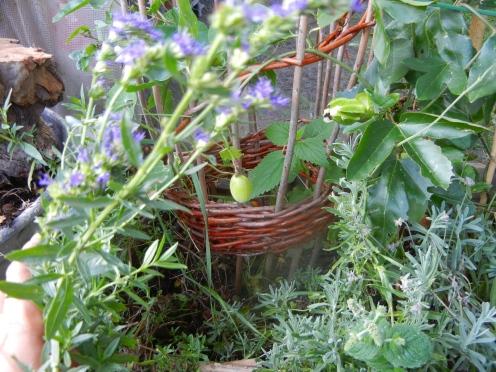 Essbare Frucht der Passiflora edulis f. flavicarpa