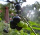 Süße Schwarzenbeere (Solanum burkanii)