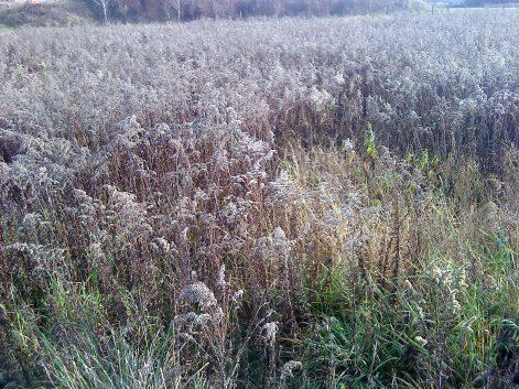 Goldruten und Weiden haben sich massiv auf der Fläche ausgebreitet.