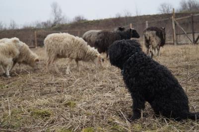 Fluffel fügt sihc gut in die Herde ein. 02/2016