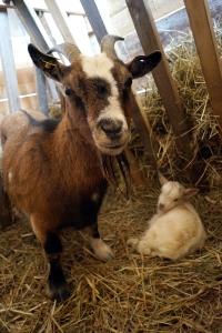 Mama und Junges dürfen sich die nächsten Tage im Stall erholen.