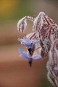 Borretsch (Borago officinalis) im Eiskleid.